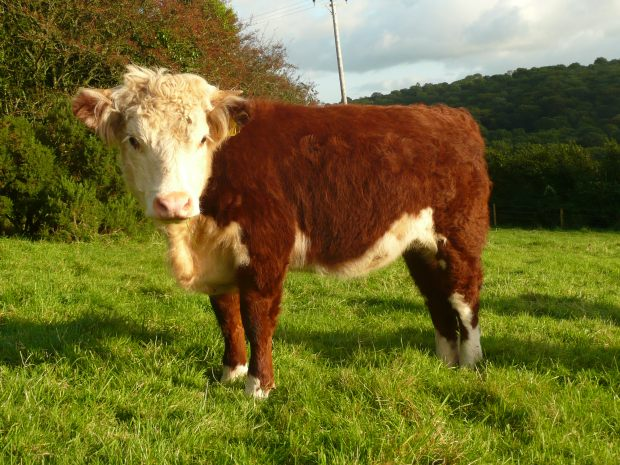 Traditional English Hereford Heifer www.thinkingcowgirl.wordpress.com