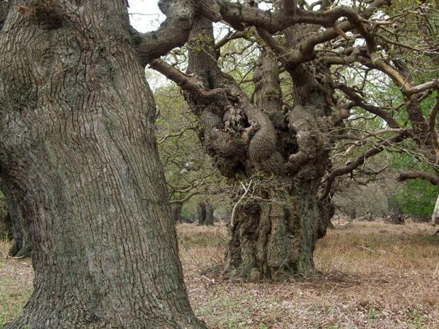 Ancient Oak Pollard www.thinkingcowgirl.wordpress.com