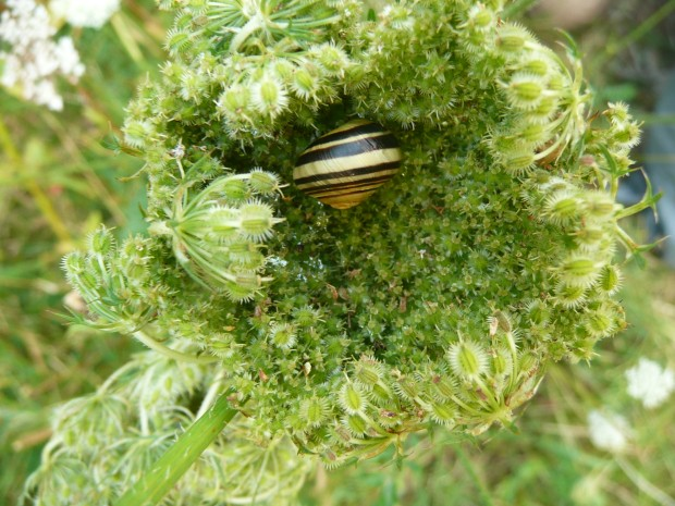 wild carrot and snail www.thinkingcowgirl.wordpress.com