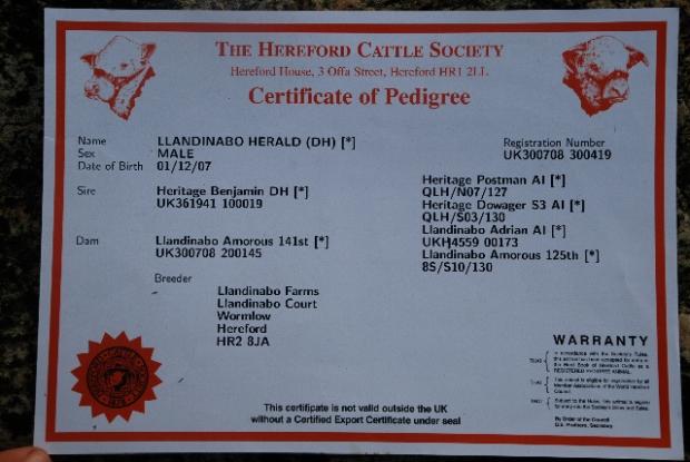 Pedigree Hereford Certificate www.thinkingcowgirl.wordpress.com