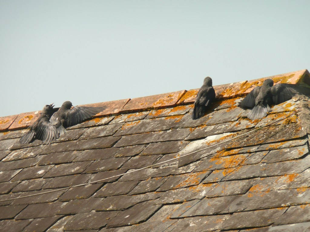 Jackdaws sunning themselves on the roof in summer www.thinkingcowgirl.wordpress.com
