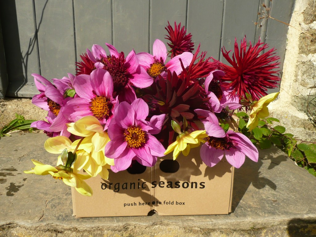 Dahlias in a box www.thinkingcowgirl.wordpress.com