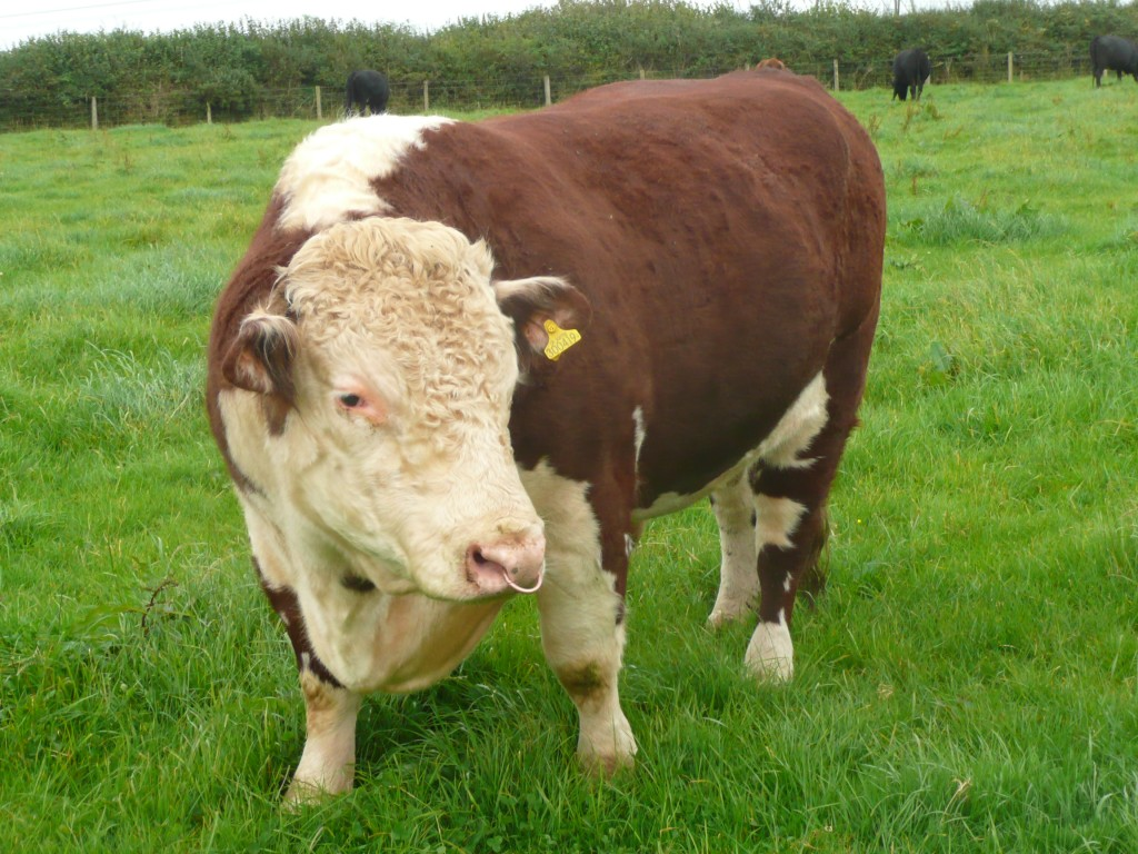 Traditional Hereford Bull www.thinkingcowgirl.wordpress.com