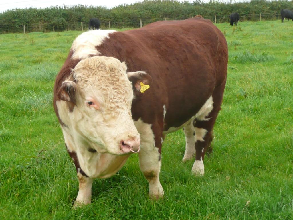 Traditional Hereford Bull www.thinkingcowgirl.wordpress.com
