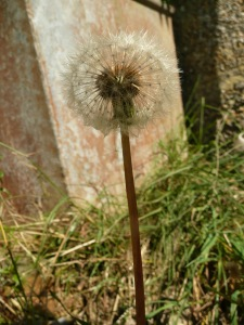 Dandelion Seedhead www.thinkingcowgirl.wordpress.com