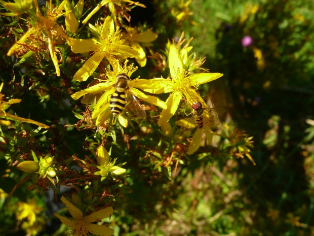 St Johns Wort www.thinkingcowgirl.wordpress.com