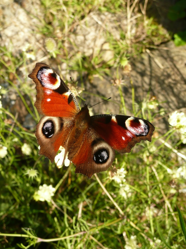Peacock Butterfly  www.thinkingcowgirl.wordpress.com