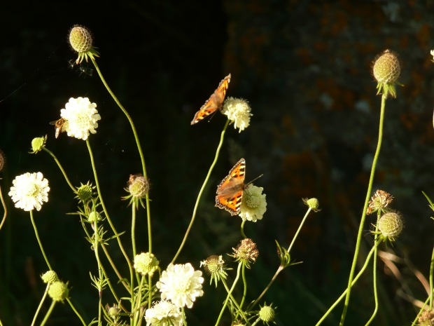 Scabious butterflies www.thinkingcowgirl.wordpress.com
