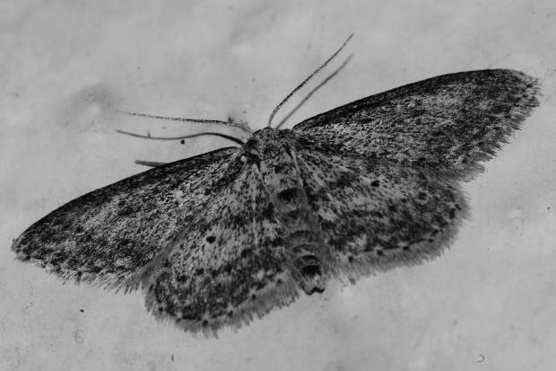 Grey Moth www.thinkingcowgirl.wordpress.com