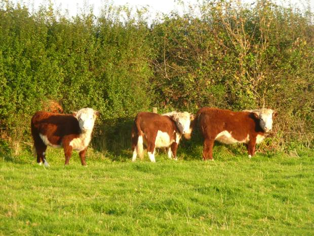 Traditional English Hereford Heifers by Hedge www.thinkingcowgirl.wordpress.com