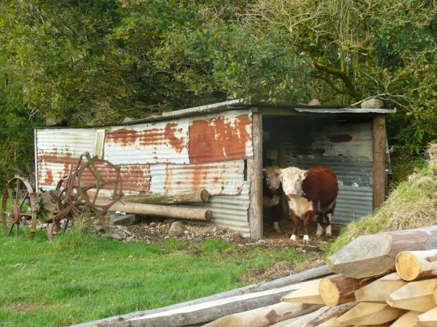 Traditional Herefords in Shed www.thinkingcowgirl.wordpress.com