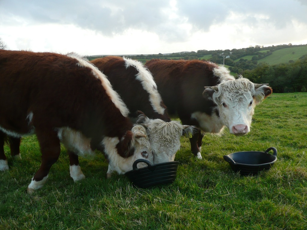 Traditional English Herefords Feeding  www.thinkingcowgirl.wordpress.com