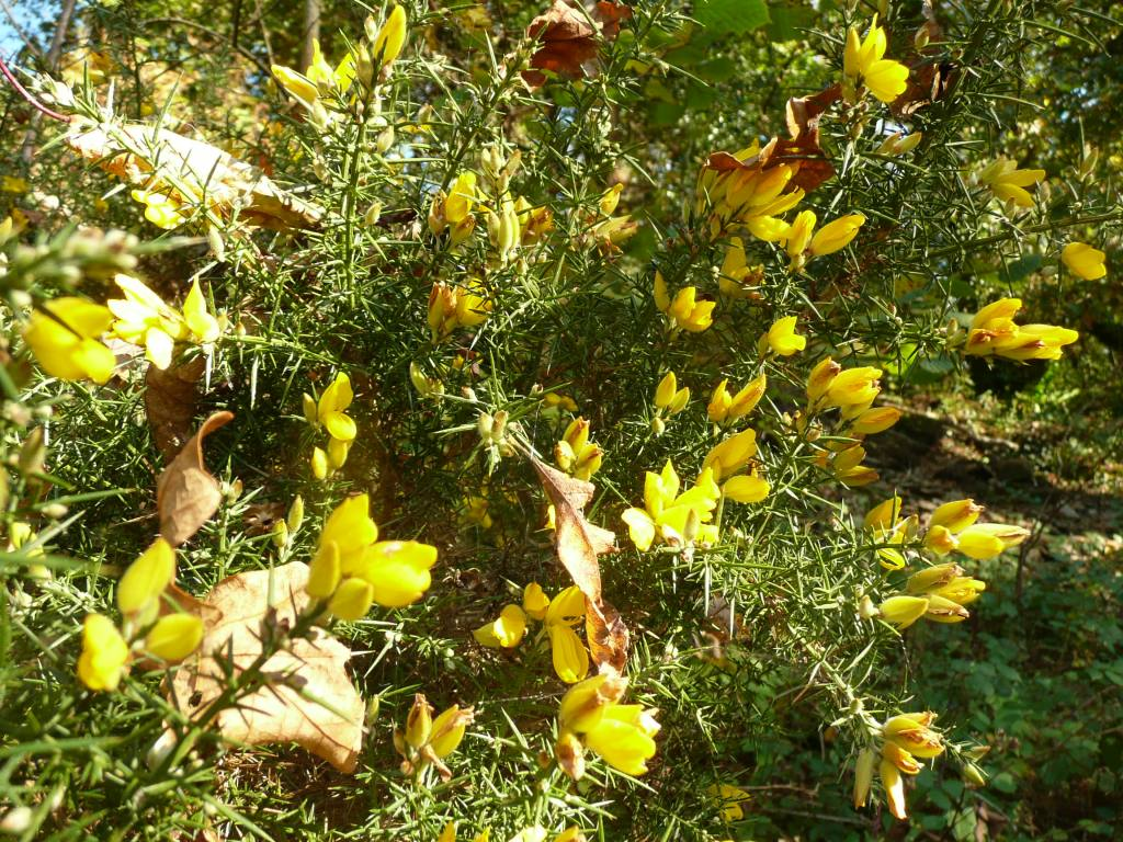 Gorse in Flower October www.thinkingcowgirl.wordpress.com