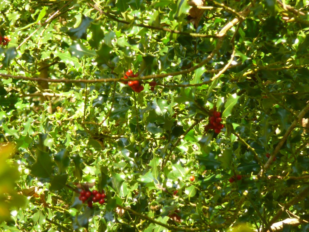 Holly Berries  www.thinkingcowgirl.wordpress.com