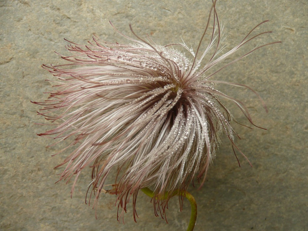Clematis Seedhead www.thinkingcowgirl.wordpress.com