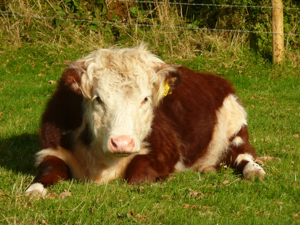 Traditional Hereford Lying Down