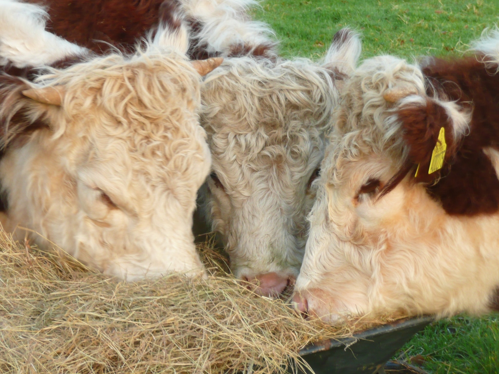 Traditional Hereford Heifers Eating Hay  www.thinkingcowgirl.wordpress.com