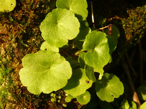 Pennywort www.thinkingcowgirl.wordpress.com