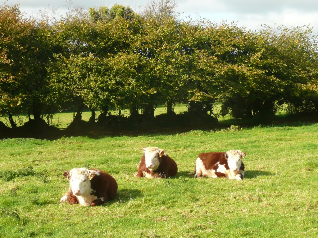Traditional Hereford Heifers Lying Down  www.thinkingcowgirl.wordpress.com