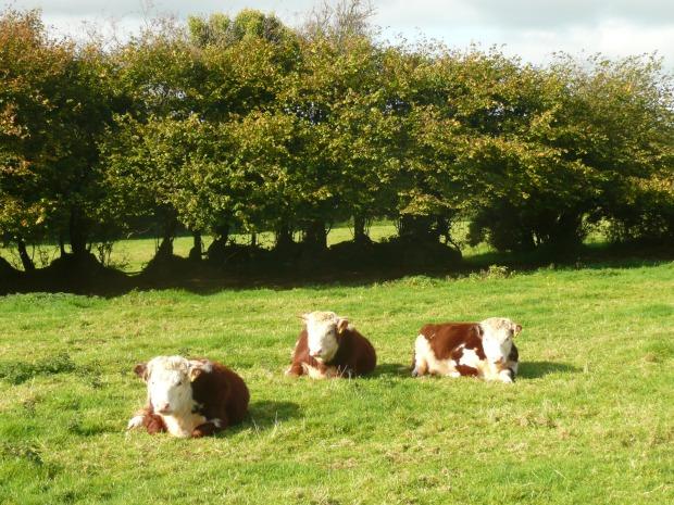 Traditional Hereford Heifers Lying Down  www.thinkingcowgirl.wordpress.com