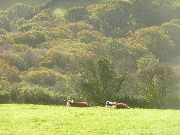 Traditional Herefords Lying Down www.thinkingcowgirl.wordpress.com