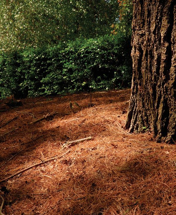 Under a Pine Tree