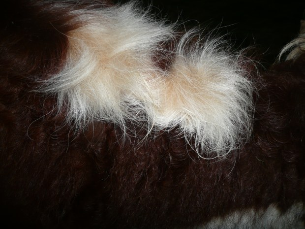 Cow Fur www.thinkingcowgirl.wordpress.com