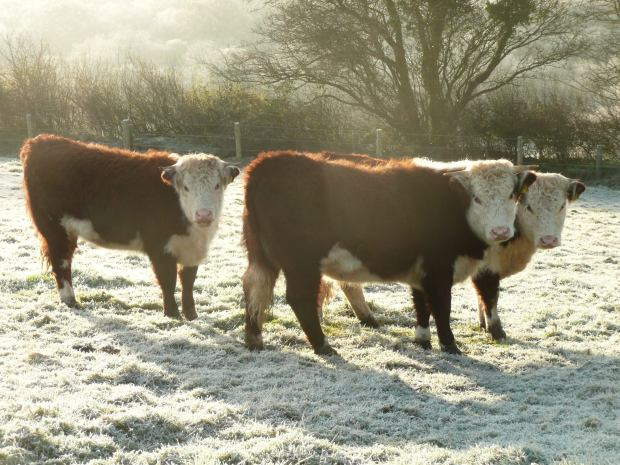 Traditional English Hereford Heifers in Frost www.thinkingcowgirl.wordpress.com