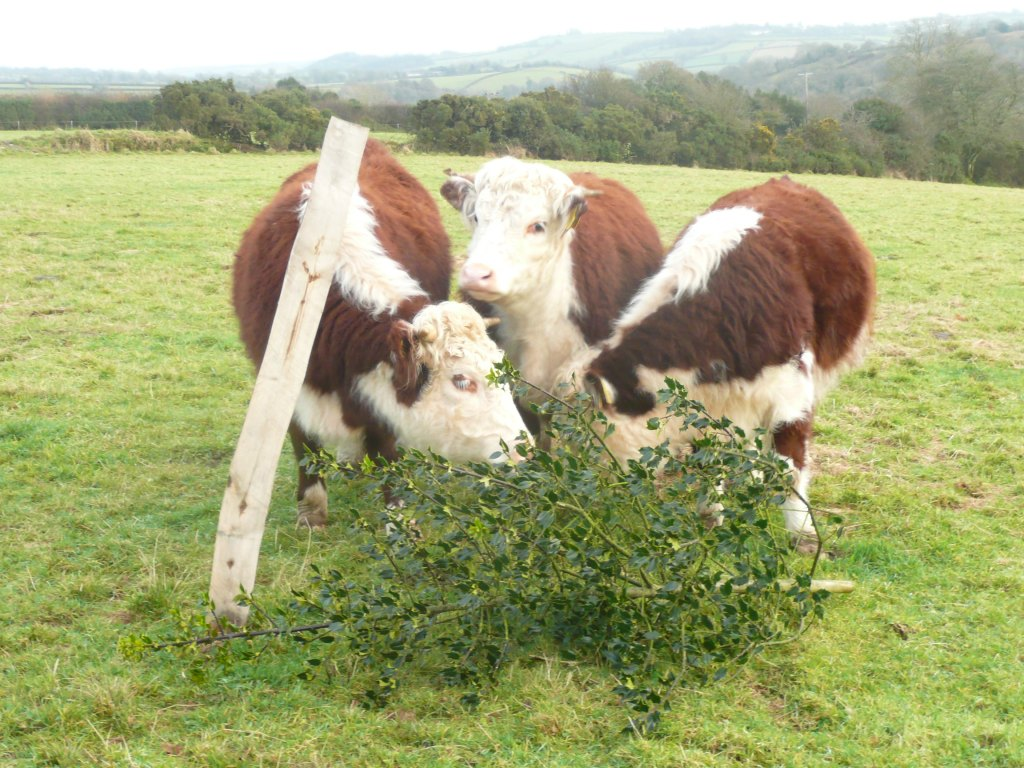 Traditional English Hereford Heifers with Holly www.thinkingcowgirl.wordpress.com