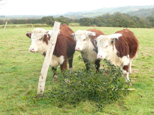 Traditional English Hereford Heifers  www.thinkingcowgirl.wordpress.com