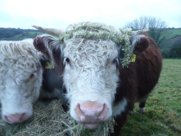 Hereford Heifer with tinsel