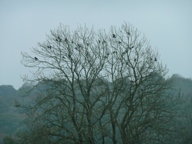 Crows in Ash Tree  www.thinkingcowgirl.wordpress.com