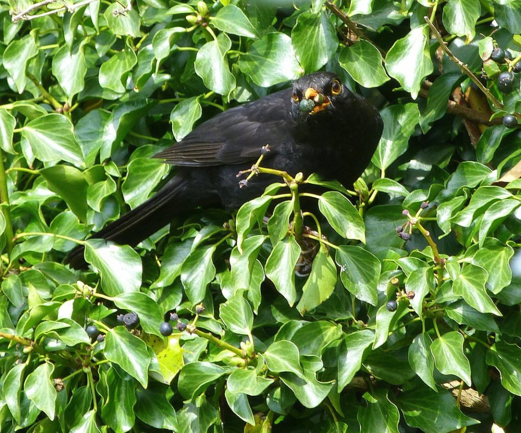 Blackbird on Ivy www.thinkingcowgirl.wordpress.com