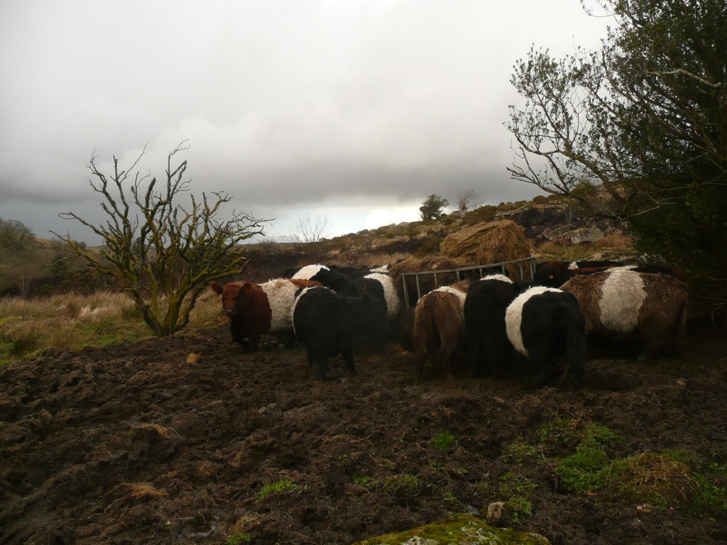 Belted Galloways on Dartmoor www.thinkingcowgirl.wordpress.com
