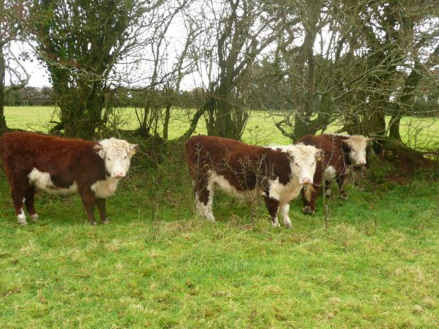 Traditional Hereford Heifers