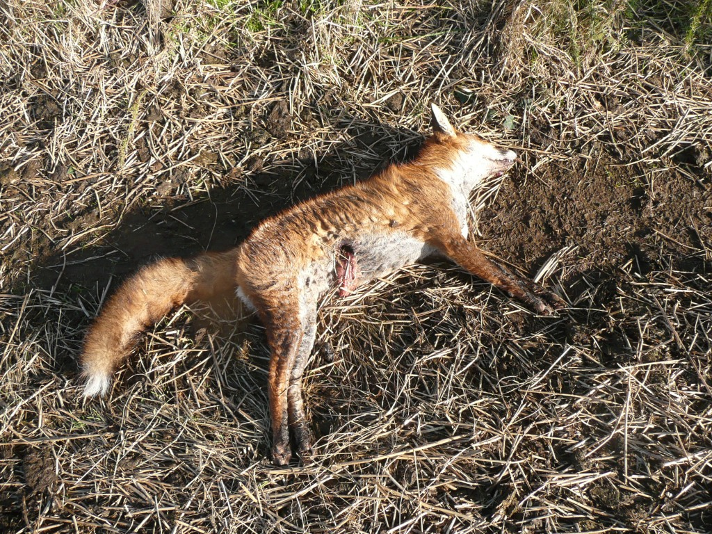 Dead fox www.thinkingcowgirl.com