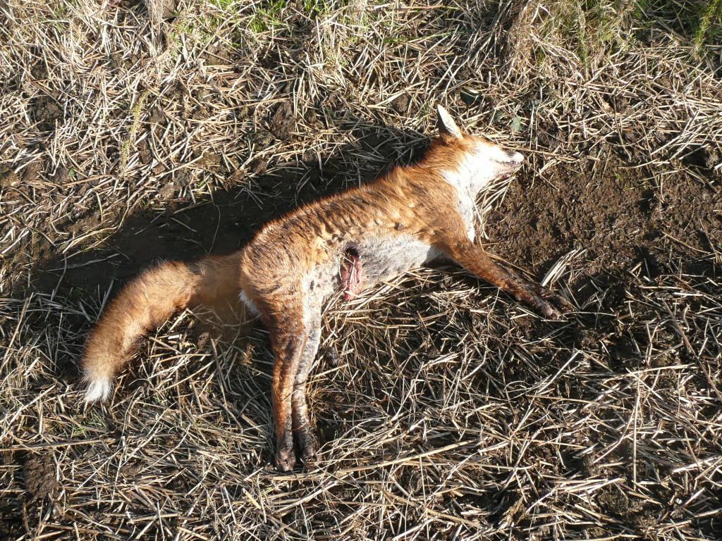 Dead fox www.thinkingcowgirl.com