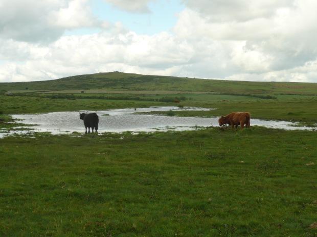 Highland Cattle on Bodmin Moor www.thinkingcowgirl.wordpress.com
