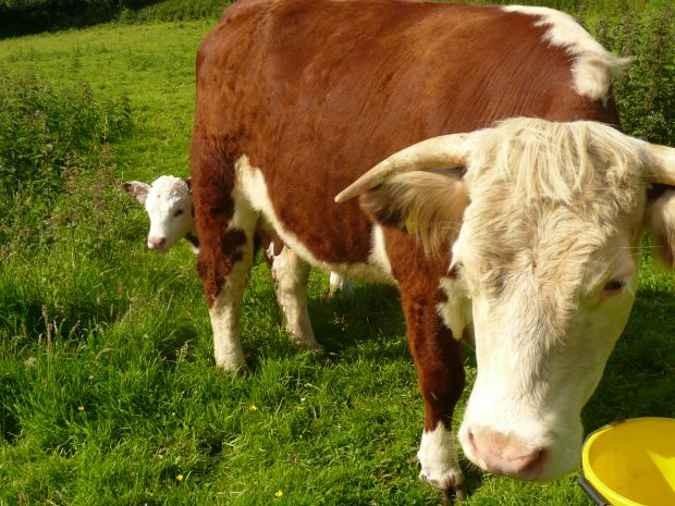Traditional Hereford Cow & Calf