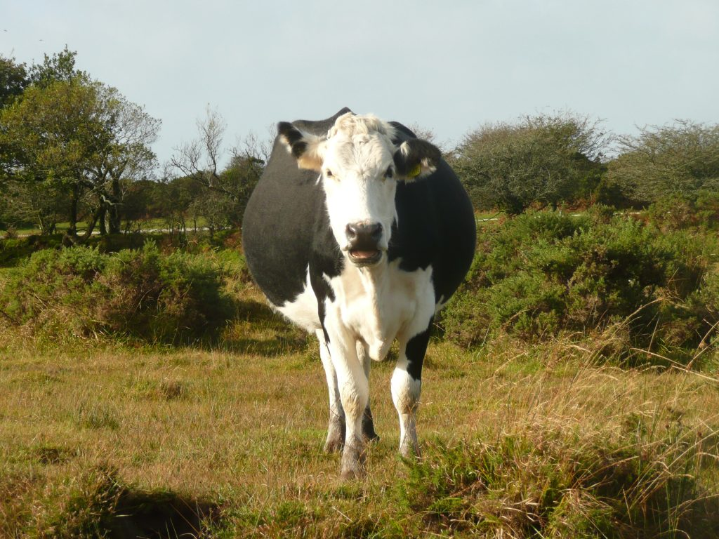 Cow in BodminMoor www.thinkingcowgirl.wordpress.com