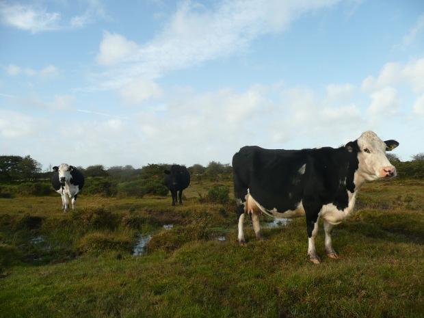 Cattle on Bodmin Moor www.thinkingcowgirl.wordpress.com