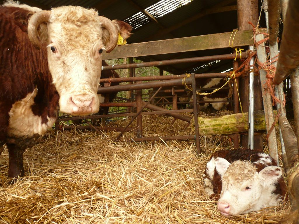 Traditional Hereford Cow & Calf www.thinkingcowgirl.wordpress.com