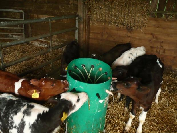 Young steers feeding www.thinkingcowgirl.wordpress.com