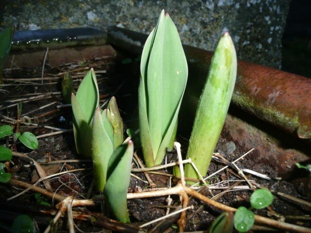 New Tulip Shoots www.thinkingcowgirl.wordpress.com