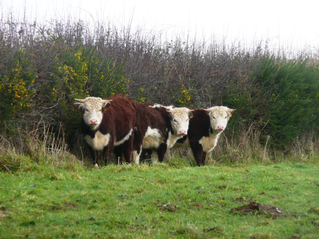 Traditional Hereford Heifers in Hedge www.thinkingcowgirl.wordpress.com