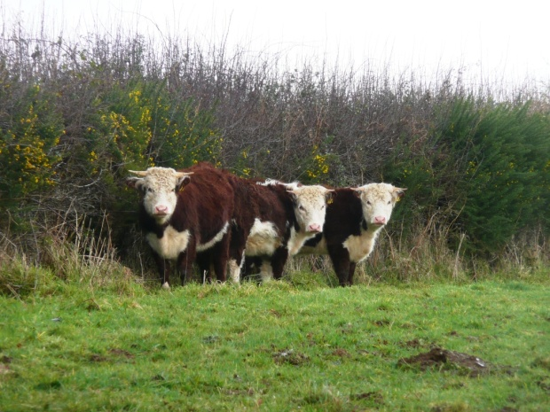 Traditional Hereford Heifers in Hedge www.thinkingcowgirl.wordpress.com