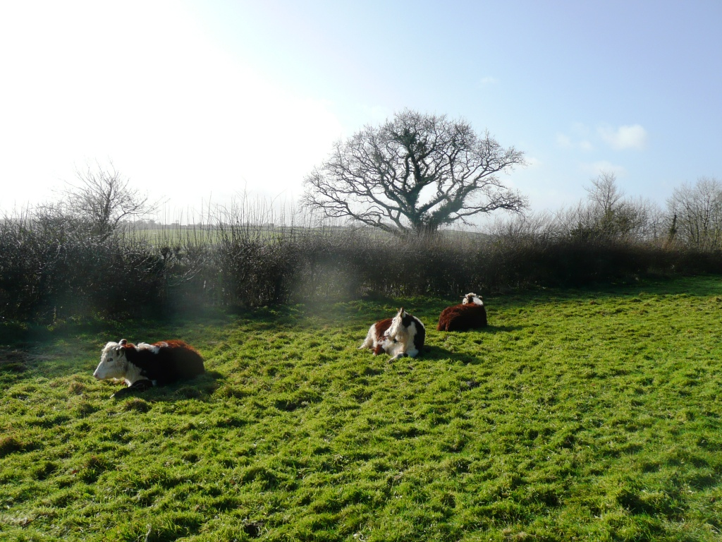 Traditional Hereford Heifers Lying Down