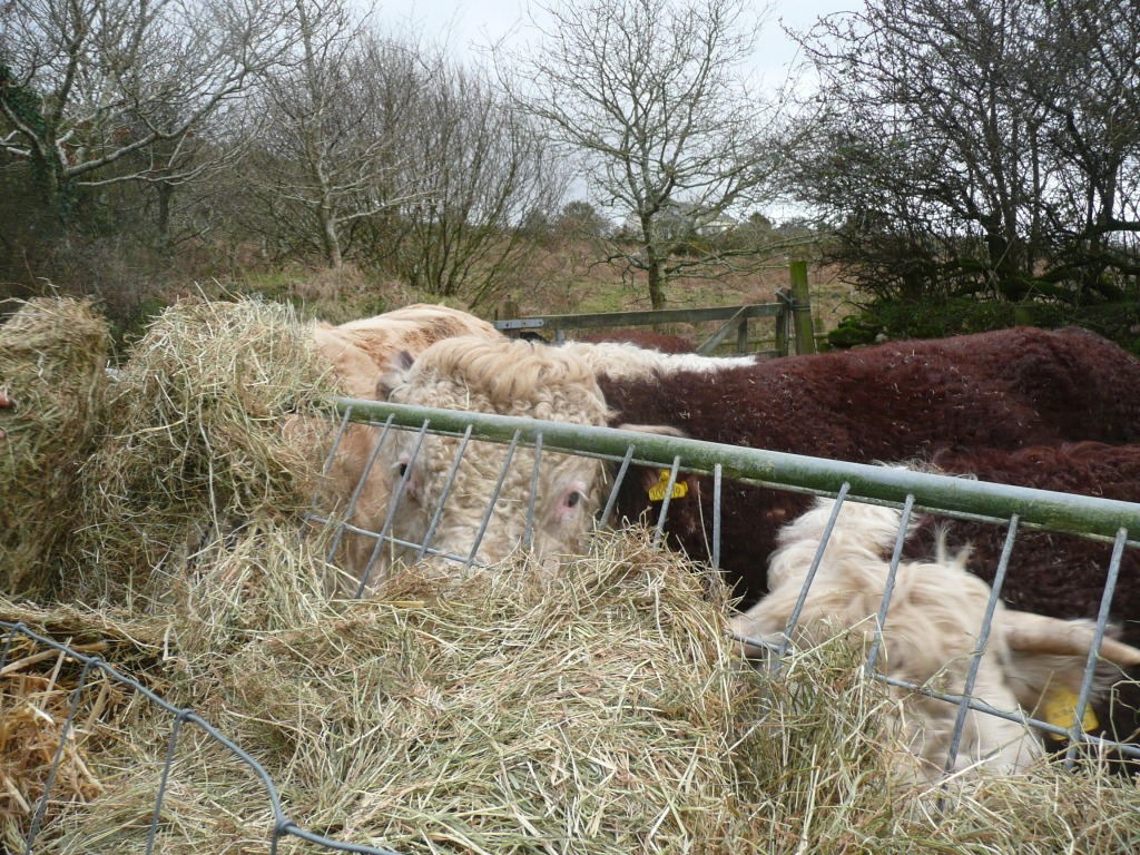 Traditional Hereford eating Hay www.thinkingcowgirl.wordpress.com