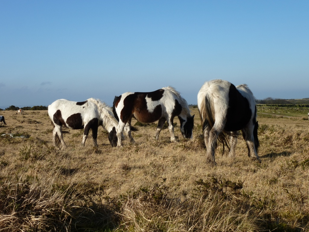 Wild Ponies on Bodmin Moor www.thinkingcowgirl.wordpress.com