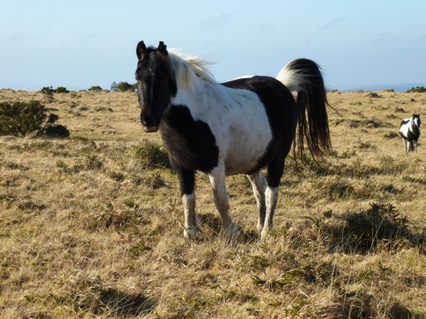 Wild Pony Bodmin Moor www,thinkingcowgirl.wordpress.com